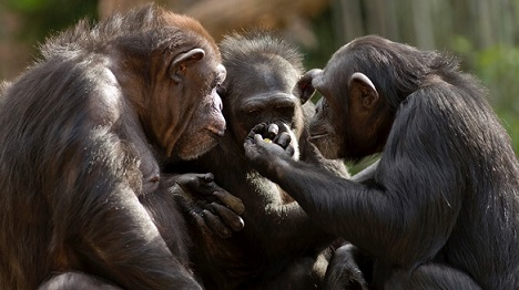 In elke kandidaat schuilt een chimpansee